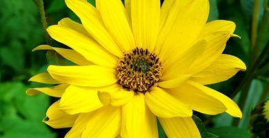 arnica planta propiedades