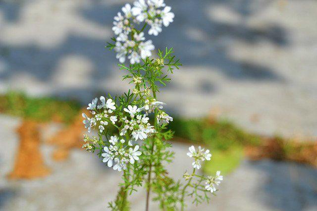 cilantro planta flores