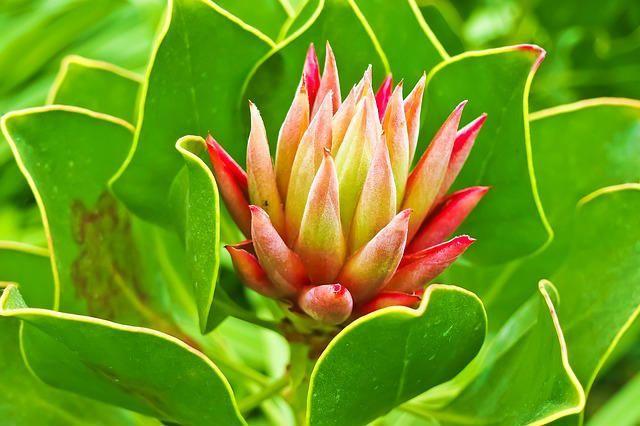 curcuma planta