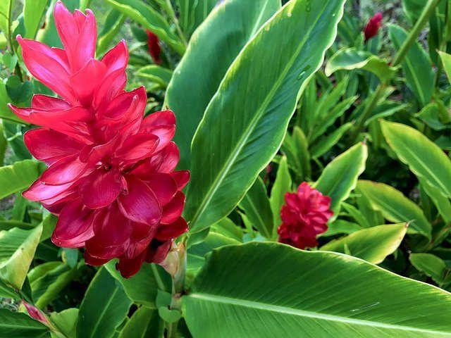 jengibre planta beneficios propiedades